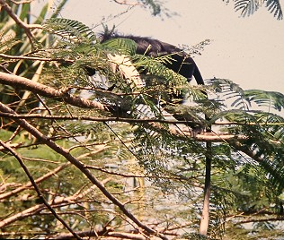 Colobus and der Küste Kenyas