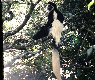 Colobus Affe am Mount Kenya
