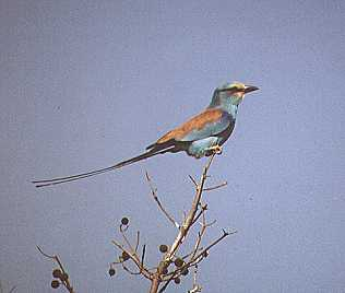 Senegalracke, Coracias abyssinica, Abyssinian Roller, Tsavo Ost