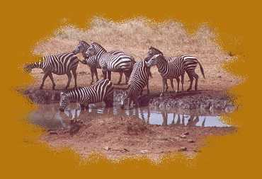 Zebras an der wasserstelle der Salt Lick Lodge, Taita Hill